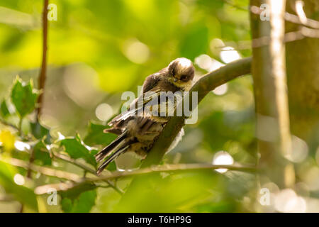 Colour wildlife portrait of three juvenile Long-tailed tits (Aegithalos caudatus) which moments before photo had left their nest for the first time. T - Stock Image