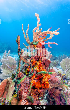 Coral garden in Caribbean off the coast of the island of Roatan - Stock Image
