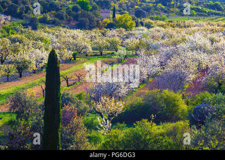 Blossom in Provence near Bonnieux - Stock Image