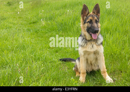 German shepherd dog - Stock Image