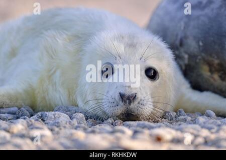 Grey seal (Halichoerus grypus), young animal lies on the beach, island Düne, Helgoland, Lower Saxony, Germany - Stock Image