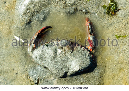 View from above of a rock crab digging into the sand on a beach - Stock Image
