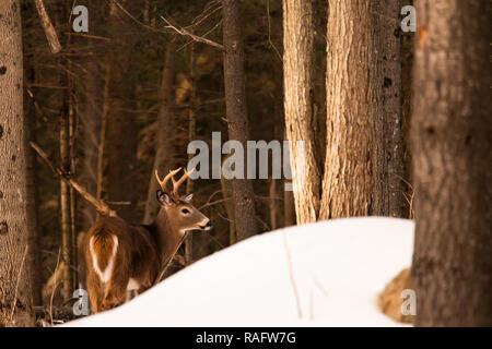 An elusive trophy whitetail deer buck hiding behind a snow drift in the Adirondack Mountains wilderness. - Stock Image