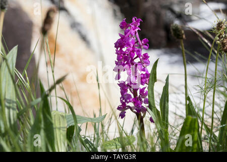Early Purple Orchid (Orchis mascula) with the Waterfall of Low Force Behind, Upper Teesdale, County Durham, UK - Stock Image