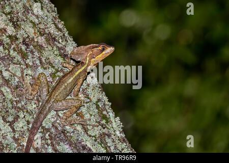 Brown Basilisk a.k.a Jesus Christ lizard - Stock Image