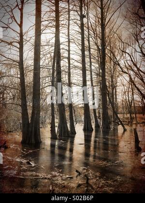 Bald cypress swamp. - Stock Image