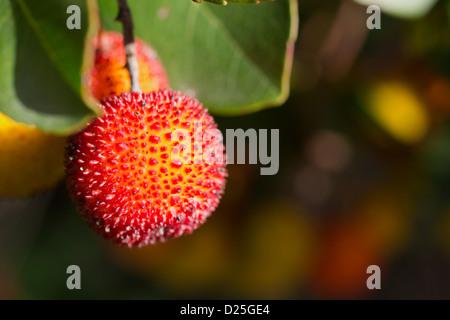 Beautiful arbutus on the tree. - Stock Image