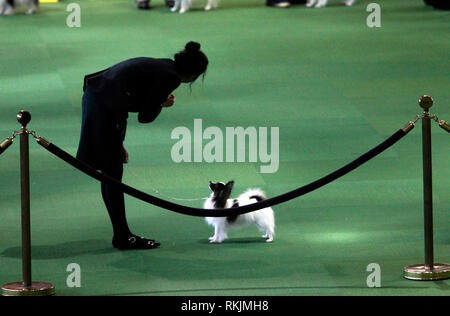 New York, United States. 11th Feb, 2019. Westminster Dog Show - New York City, 11 February, 2019: Handlers with Papillion breed dogs awaiting judging during the Best of Breed Competition at the 143rd Annual Westminster Dog Show. Credit: Adam Stoltman/Alamy Live News - Stock Image