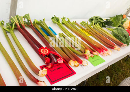 Prize winning sticks of home-grown rhubarb class competition entries in the Horticultural Fruit and Vegetable section Arthington Show 2017. - Stock Image