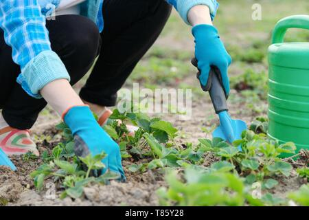 Gardener cultivates soil with hand tools, spring gardening, watering and strawberry cultivation. Closeup of hands working woman in gloves - Stock Image