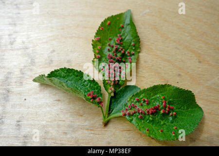 Plum leaf heavily infested by mite Phyllocoptes eupadi that caused development of red gals, pistules. - Stock Image