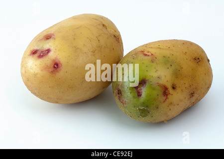 Potato (Solanum tuberosum), variety: Quarta. Tubers, one of them with green sections due to exposure to light - Stock Image