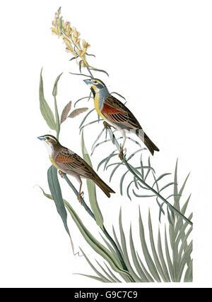 Dickcissel, Spiza americana, birds, 1827 - 1838 - Stock Image