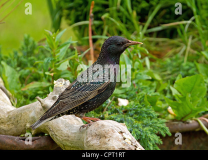 Starling on old branch - Stock Image