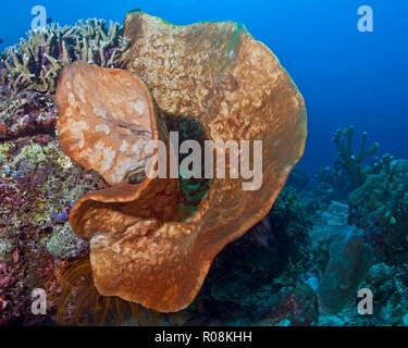 Giant orange elephant ear sponge (Agelas clathrode) in the shape of a human ear. Bunaken Island, Indonesia. - Stock Image