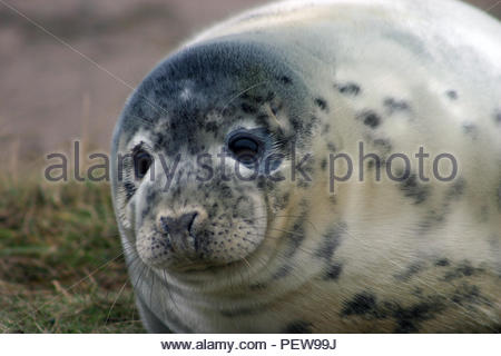 Grey Seal pup head shot. - Stock Image