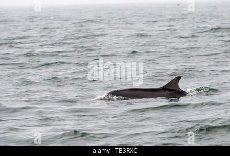 Bottle Nose Dolphin, Tursiops truncatus off the Farne Islands, Northumberland, UK. - Stock Image