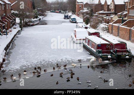 Birds and narrowboats on the frozen Bridgewater Canal at Stockton Heath, Cheshire - Stock Image