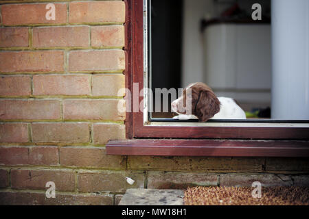 A 10 week old English springer spaniel puppy lays by side door of house keeping watch. - Stock Image