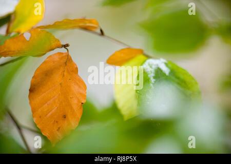 Herbstliche Buchenblätter, Close-up - Stock Image