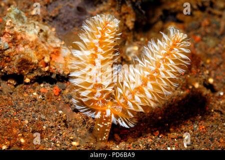California Horseshoe Worm, Phoronopsis californica.Tulamben, Bali, Indonesia. Bali Sea, Indian Ocean - Stock Image