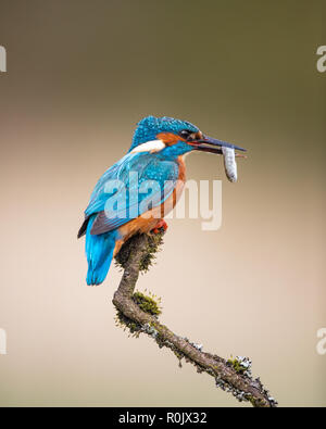 Eurasian Kingfisher (Alcedo atthis) with a fish perching on a twig, Scotland - Stock Image