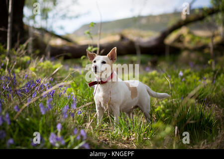 A Jack Russell stood amongst a field of tall grass lined with bluebells - Stock Image