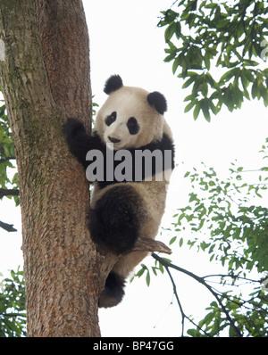Giant panda climbing down tree, Panda Breeding Centre, Ya'an, Sichuan, China - Stock Image