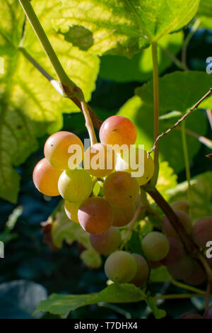 White table grape riping on vine in garden close up - Stock Image