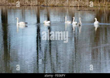 Family wild swans. Mother, father and four young. - Stock Image
