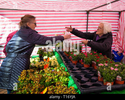 A lady gardener buying Siberian Tiger plants Muscari Armeniacum at a weekly market flower stall  in  North Yorkshire - Stock Image