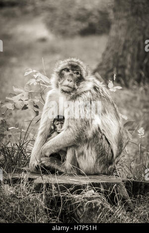 Mother and baby Barbary Macaque monkey sitting on a tree stump. - Stock Image