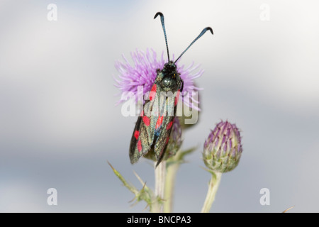 Adult cinnabar moth on flower. - Stock Image