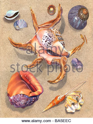 Spider Conch - Stock Image