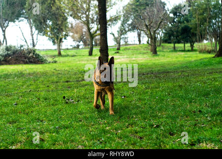 German shepherd dog at the park, in Rome. - Stock Image