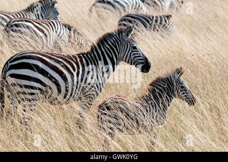 Zebra mother with baby. Kenya. - Stock Image