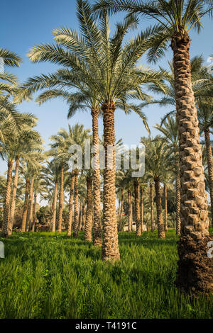 Palm trees in a field, Dahshur near Cairo, Egypt - Stock Image