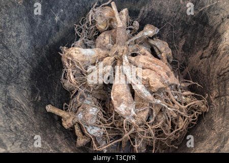 overwintered dahlia tubers covered in mould - Stock Image