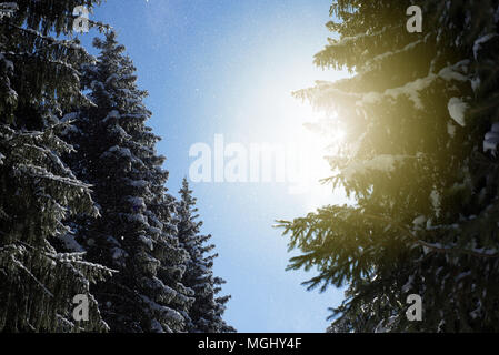 Fresh falling snow flakes fall from lush evergreen pine fir trees and are caught in the warm winter golden rays of sunlight in this wintry woodland sc - Stock Image