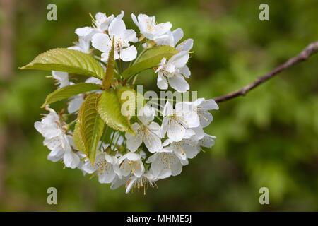 Wild Cherry (Prunus avium) flowers - Stock Image