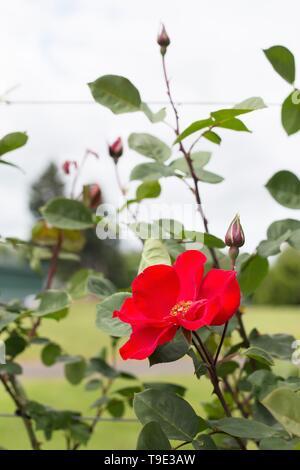 Altissimo large flowered climbing rose at the Owen Rose Garden in Eugene, Oregon, USA. - Stock Image