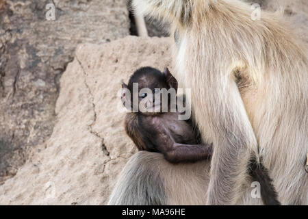 Cute wild baby Gray Langur or Hanuman Langur, Semnopithecus, held by its mother, Bandhavgarh National Park, Tala, Madhya Pradesh, India - Stock Image