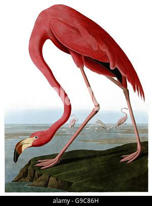 Greater Flamingo, Phoenicopterus ruber, birds, 1827 - 1838 - Stock Image