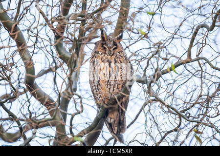 Long eared owl (Asio otus) bird of prey perched and resting in a tree in winter daytime colors facing camera. - Stock Image