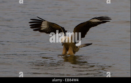Yellow Headed Caracara (Milvago chimachima)  fishing in Pantanal, Mato Grosso State, Brazil - Stock Image
