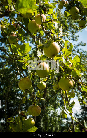 Apples growing on a tree in a country garden demonstrating self sufficiency in Summer in UK - Stock Image