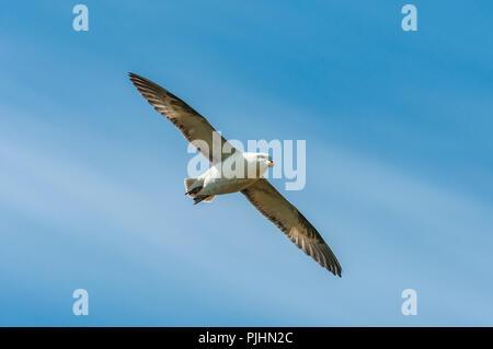 Fulmar, Lundy Island, UK - Stock Image