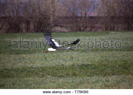 A stork flying over the field - Stock Image