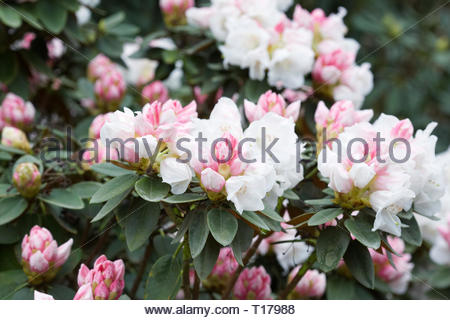 Rhododendron pachysanthum flowers. - Stock Image