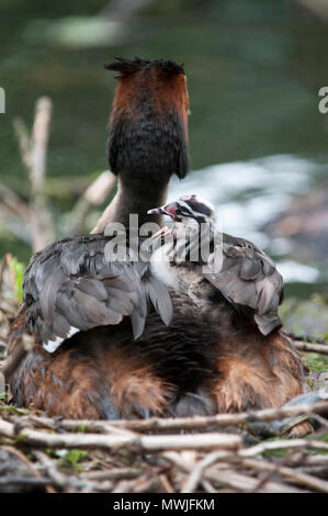 Great Crested Grebe,(Podiceps cristatus), Walthamstow Reservoirs, London, United Kingdom - Stock Image